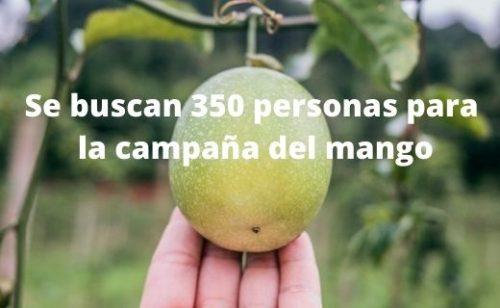 Se buscan 350 trabajadores para la campaña del mango
